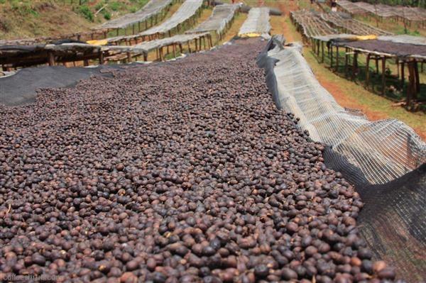 coffeeshrub.com-Ethiopia_DP_Yirga_Cheffe1