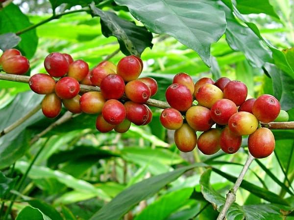 caffecoffea.com-Arabica-Plant